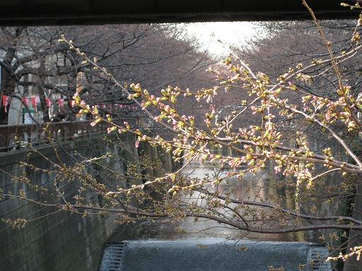 [Photo] 目黒川の桜