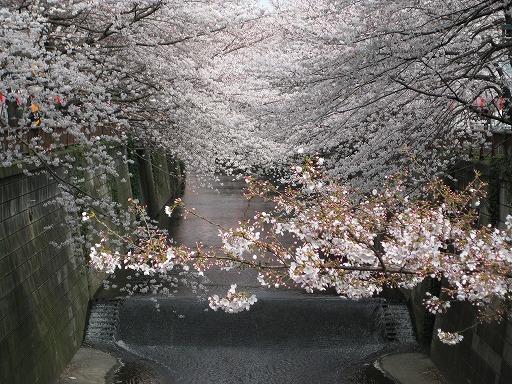 目黒川の桜 (2008/03/27)