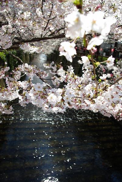 目黒川の桜 (2009/04/02)
