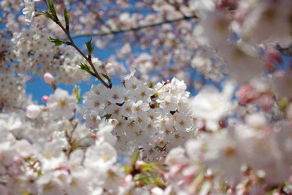 20090402_megurogawa_21_s.jpg