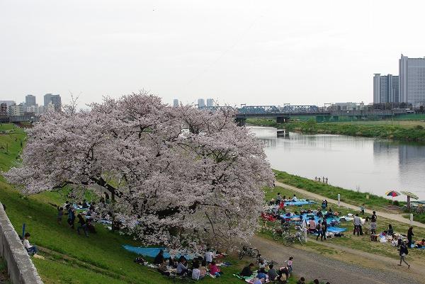 多摩川の桜 (2009/04/05)