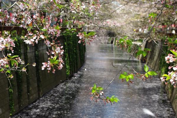 桜流るる目黒川