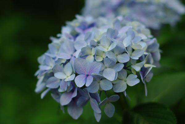 あじさい咲く、多摩川台公園