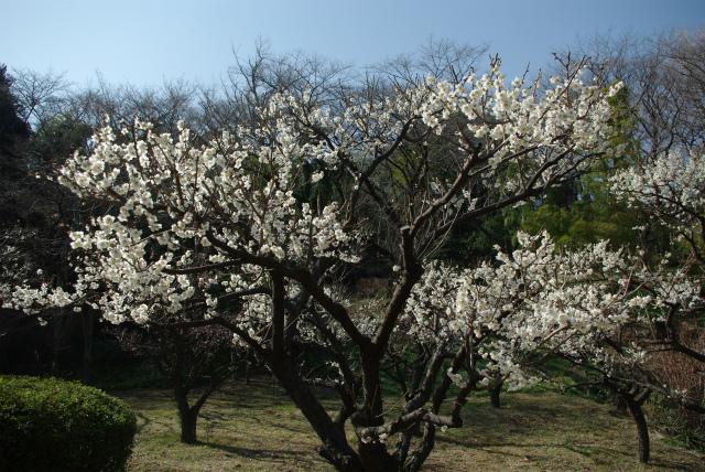 町田市_薬師池公園_梅