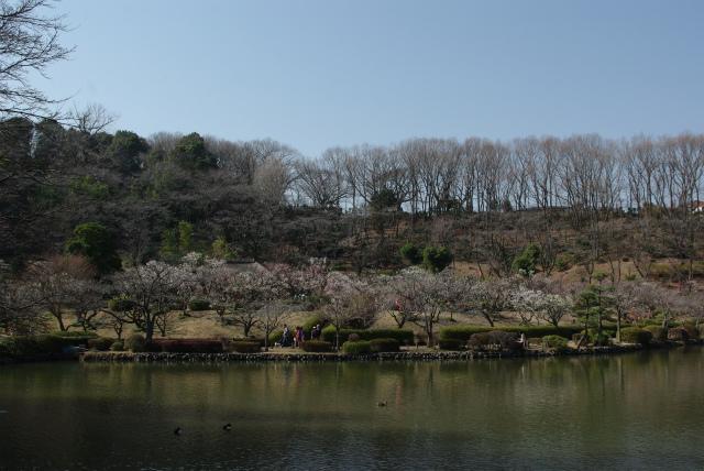 町田市薬師池公園の梅が見頃でした。