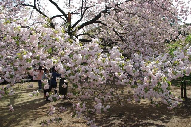 新宿御苑_八重桜