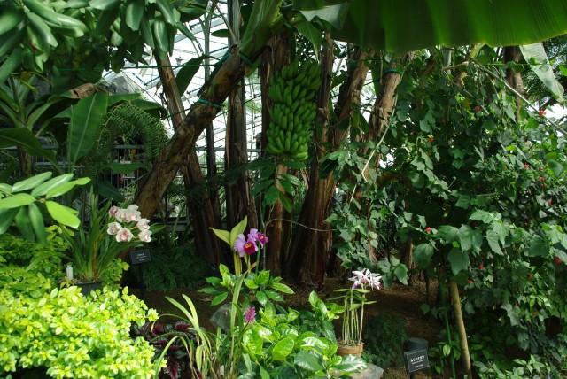 新宿御苑_大温室_バナナの木