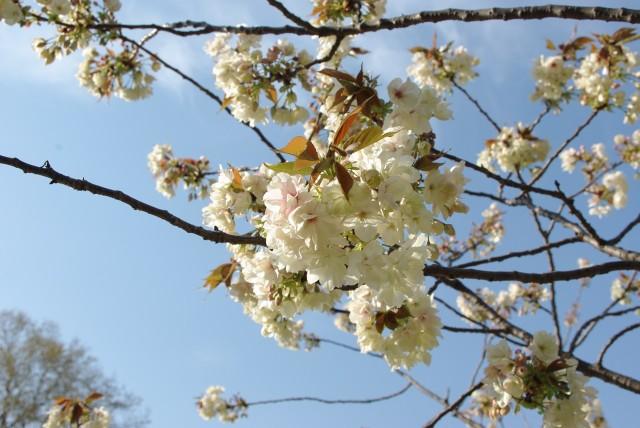 新宿御苑_鬱金の桜