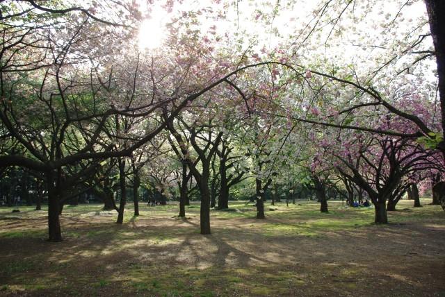 新宿御苑_散る桜