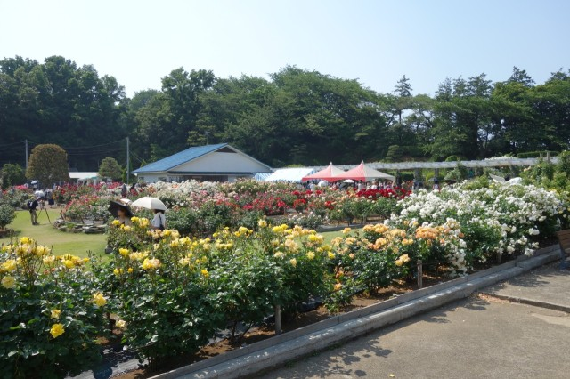 生田緑地のバラ苑に行ってきた