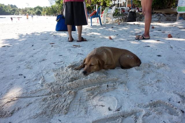 パタヤビーチの犬