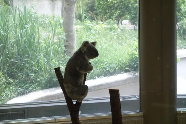 コアラさん見張り番