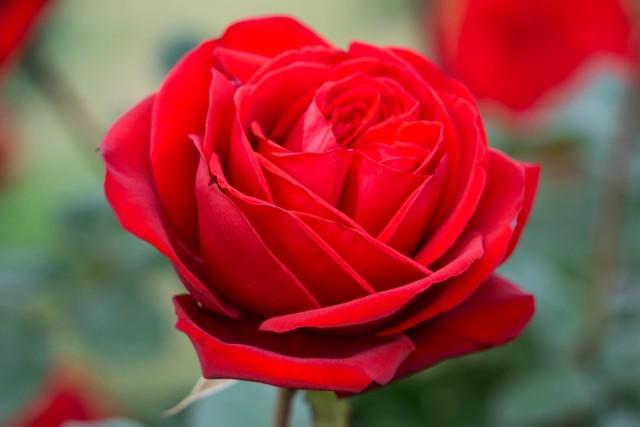 レッドクイーンというバラ