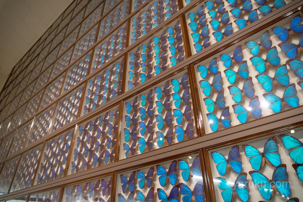 昆虫美術館のメネラウスモルフォ蝶