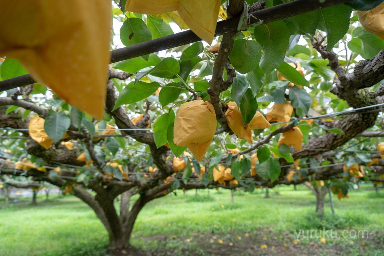 袋に被った梨