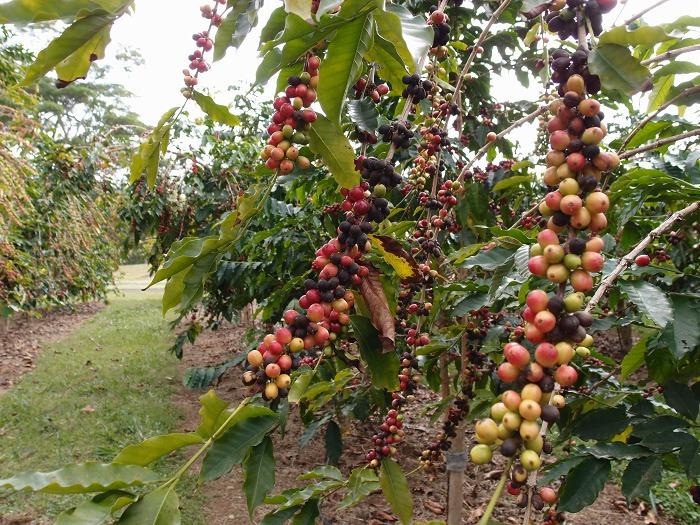 ドトールコーヒー農園