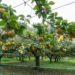 川崎市(登戸)で梨狩り
